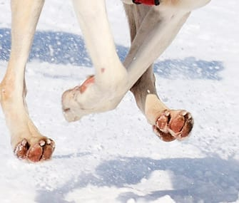 Look at this image of a dog with trimmed nails running. The nails barely even contact the ground. This is even on a slippery surface, no nails needed!